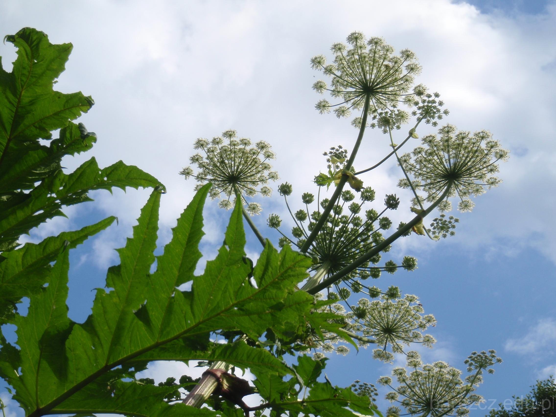 barszcz Mantegazziego kwiaty