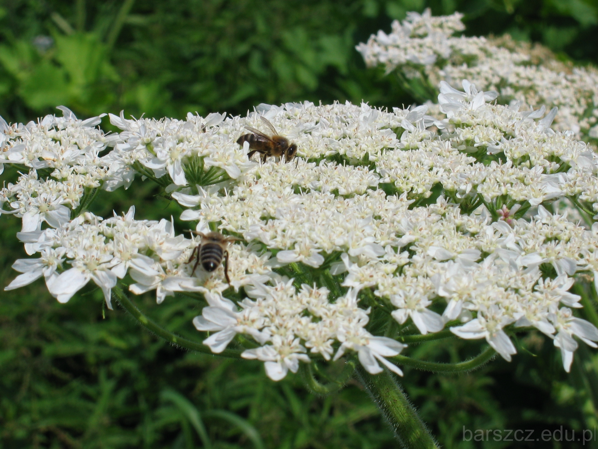 rosliny trujące kwiaty barszcz olbrzymi