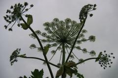 jak wyglądaja kwiaty barszczu mantegazziego