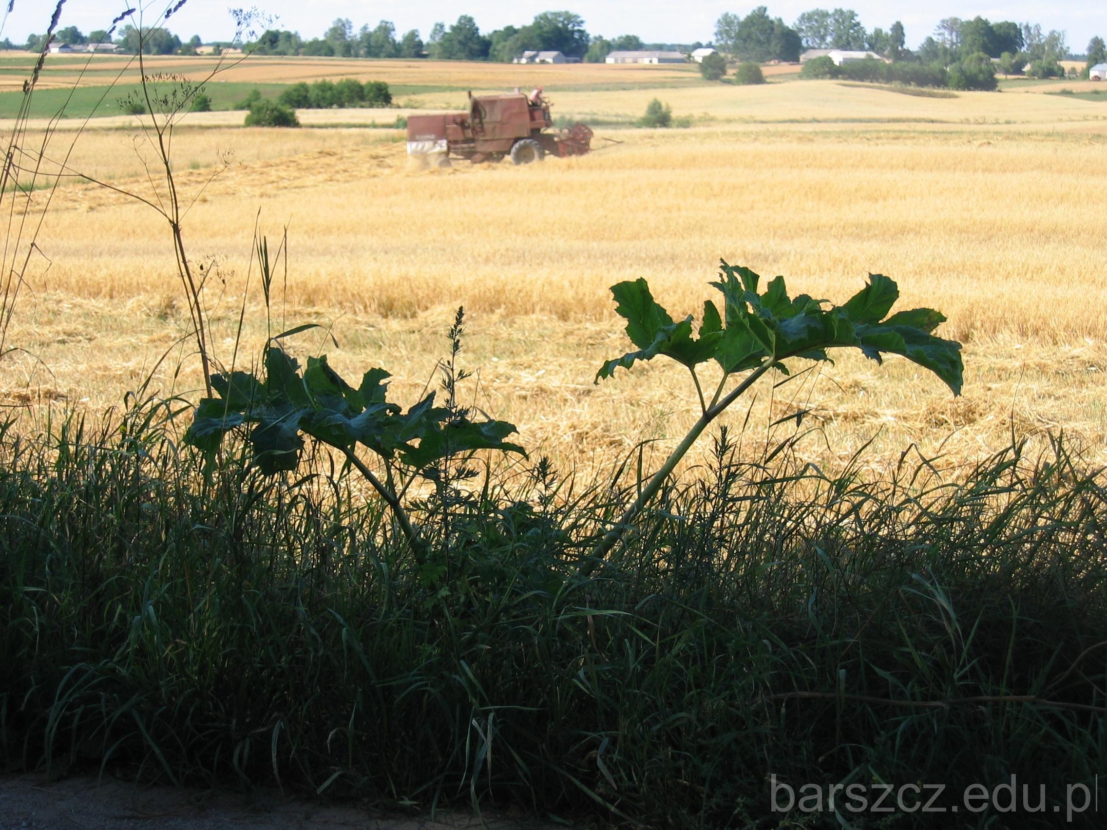 barszcz Sosnowskiego liscie