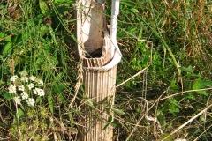łodygi barszcz sosnowskiego