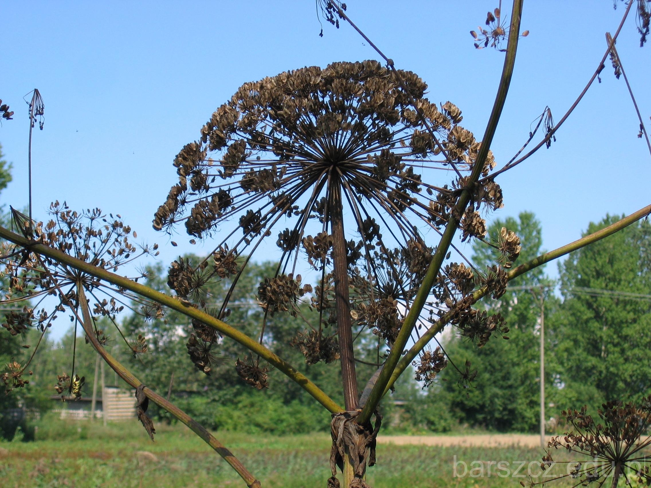 trujacy barszcz Sosnowskiego nasiona