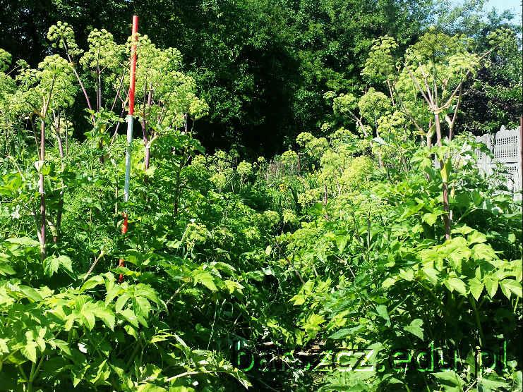 rośliny podobne do barszczu Sosnowskiego