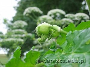 barszczolbrzymi-kwiat04