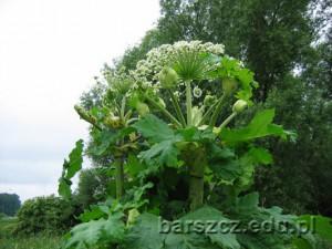 barszczolbrzymi-kwiat05