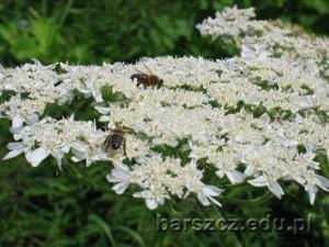barszczolbrzymi-kwiat11
