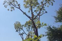 rosliny podobne do barszczu sosnowskiego