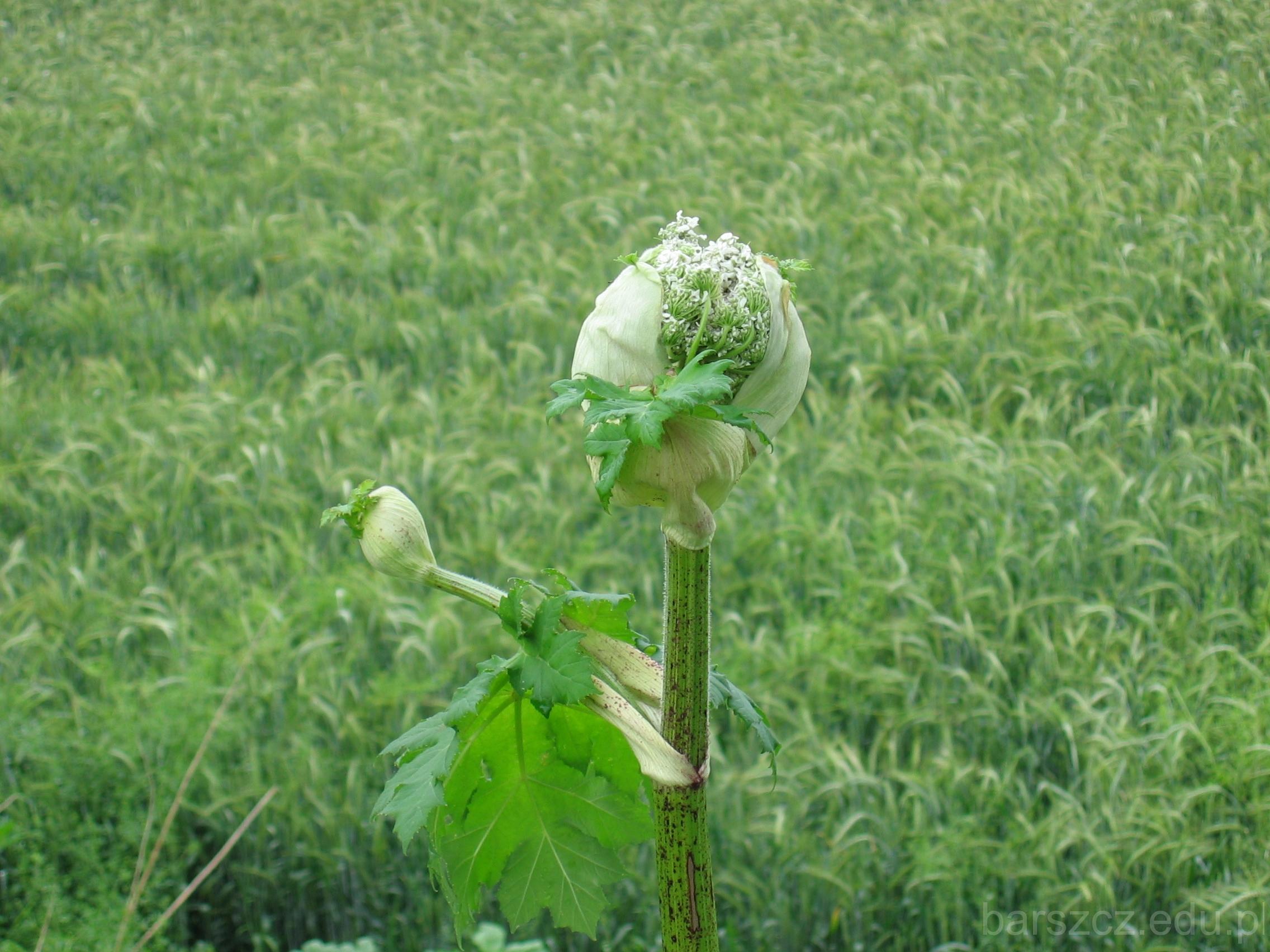 kwiaty barszczu Sosnowskiego