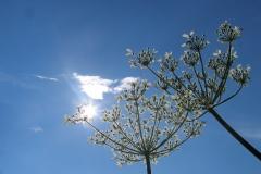 jak wyglądaja kwiaty barszczu olbrzymiego