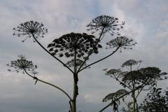 kwiaty barszczu Mantegazziego