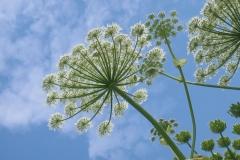 kwiaty barszczu olbrzymiego