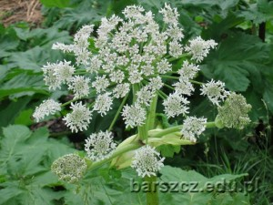barszczolbrzymi-kwiat06