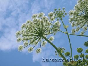 barszczolbrzymi-kwiat07