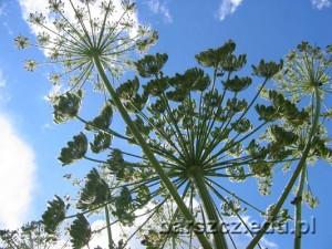 barszczolbrzymi-kwiat09