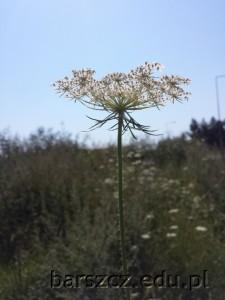05_marchew zwyczajna - kwiat
